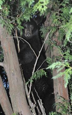 Black bear in Attleboro.